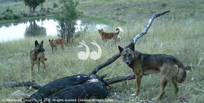 Wild dogs caught on camera near a bait.