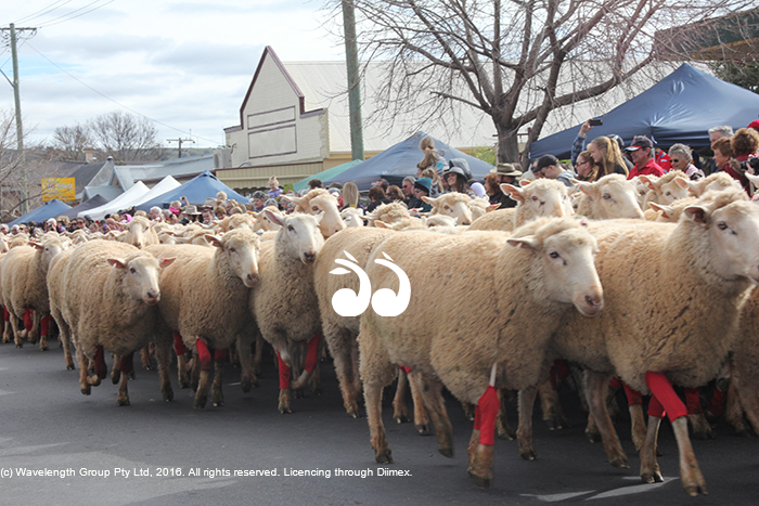 The sheep in red socks make their way down the main street of Merriwa during the Festival of the Fleece.