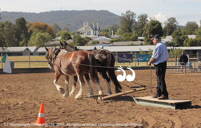 Draught horses showing children how they work a field.
