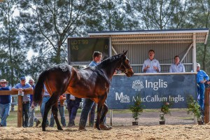 The highest selling yearling at the Scone sales to date: A colt by I Am Invincible from Yarrandi Farm sold for $120,000.