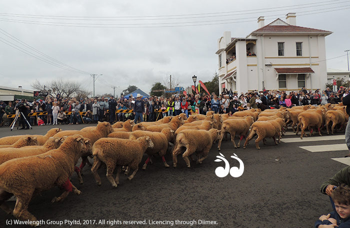 The crowd favourite, the red socked sheep rounding the corner of Bettington Street, Merriwa. Photo By Elizabeth Hagley.