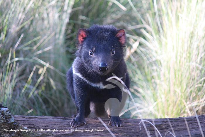 Sporty the Tasmanian Devil at Devil Ark. Photographry courtesy of Devil Ark.