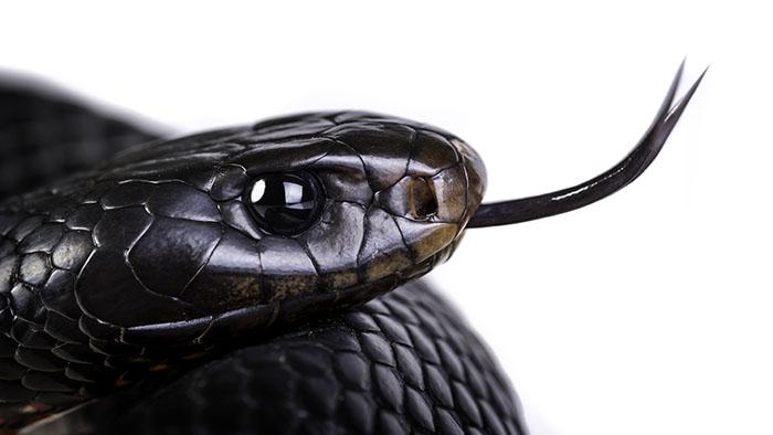red bellied black snake