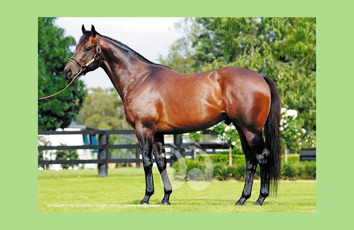 Yarraman Park Stud's I Am Invincible. Sire of some of the top sales at the Magic Millions. Photo courtesy of Georgie Lomax, Yarraman Park Stud.Stud.