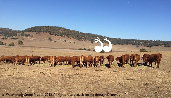 """Limousin cross Shorthorn cows and calves being fed oaten hay from Gunnedah, on """"Glen Eyre"""", Owens Gap. Photo courtesy of Rachel Cox."""