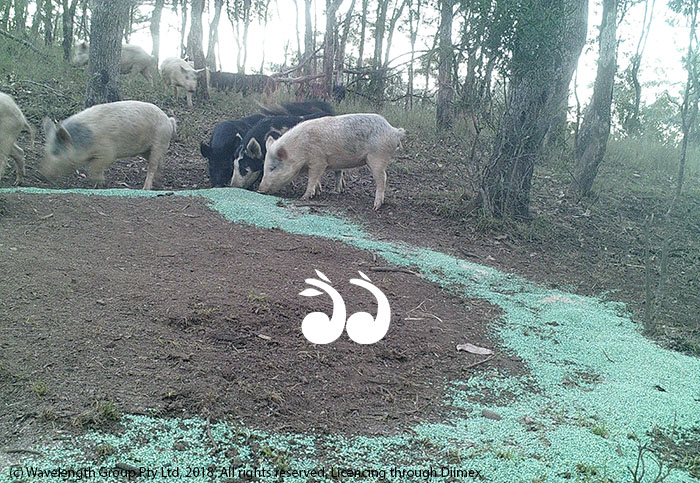 During the dry is the ideal time to control wild pigs and dogs.