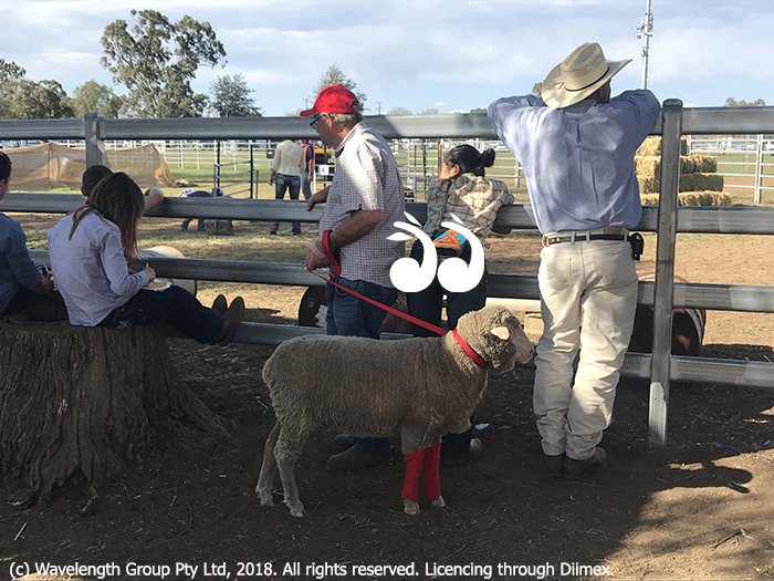 Every man and his sheep was at the Merriwa Springtime Show.