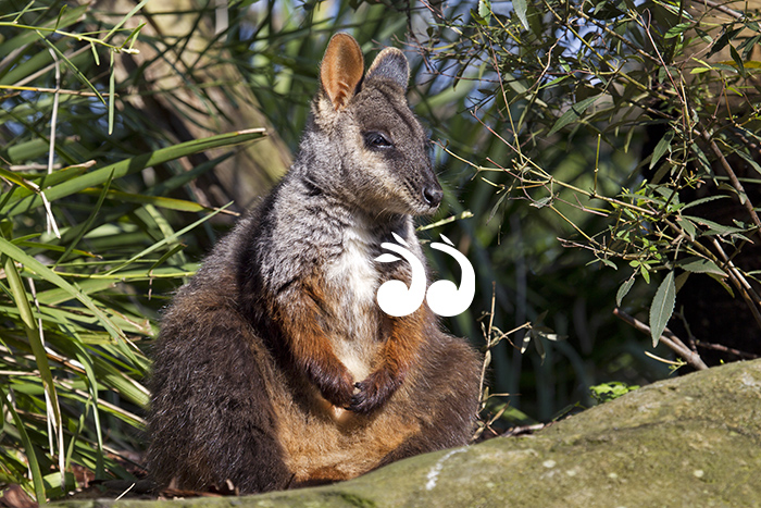 The Aussie Ark will now be home to the brush tailed rock wallaby.