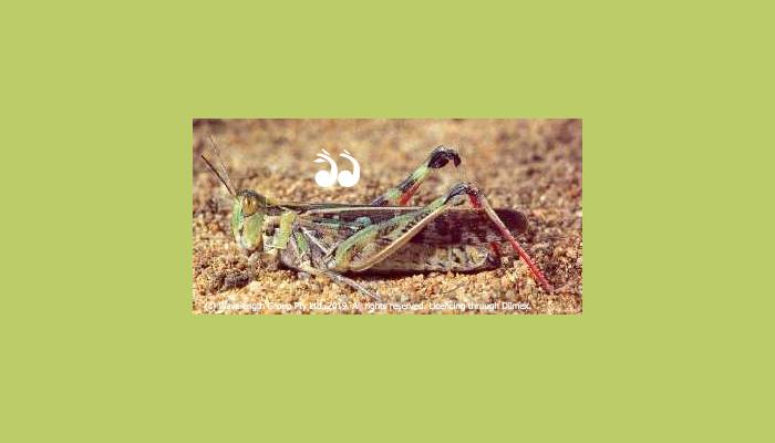 An Australian Plague Locust